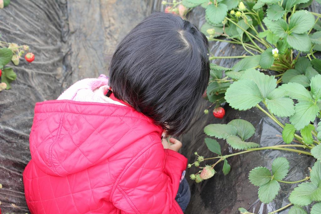 酒々井でいちご狩りなら和田農園のいちご2